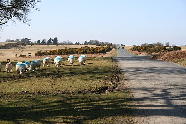 Road over Whitchurch Down - and Sheep