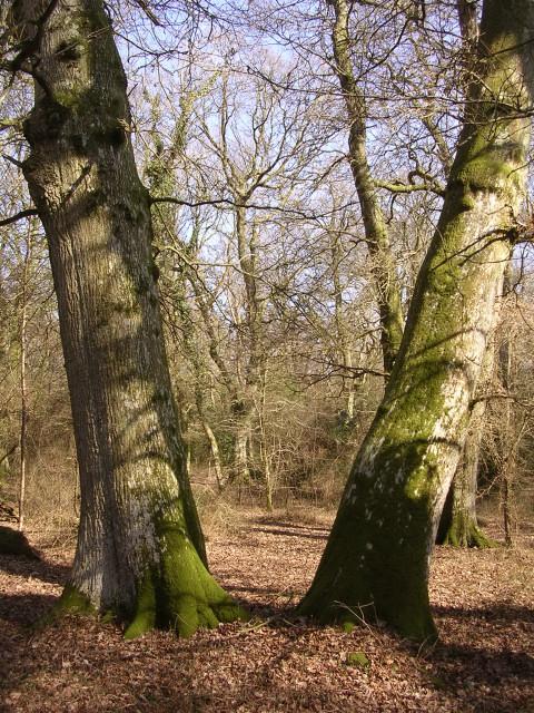 Slanted oaks at Pig Bush, New Forest