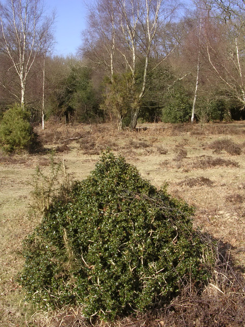 Stunted holly bush on the edge of Pig Bush, New Forest
