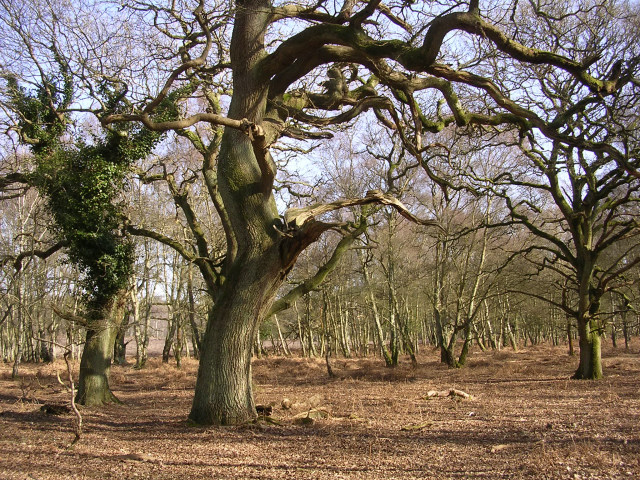 Oaks in their dotage at Rowbarrow, New Forest