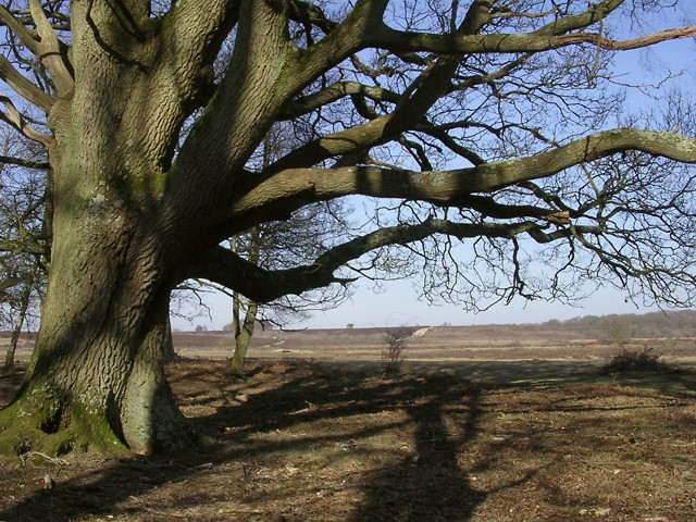 Old oak on the edge of Penny Moor, New Forest