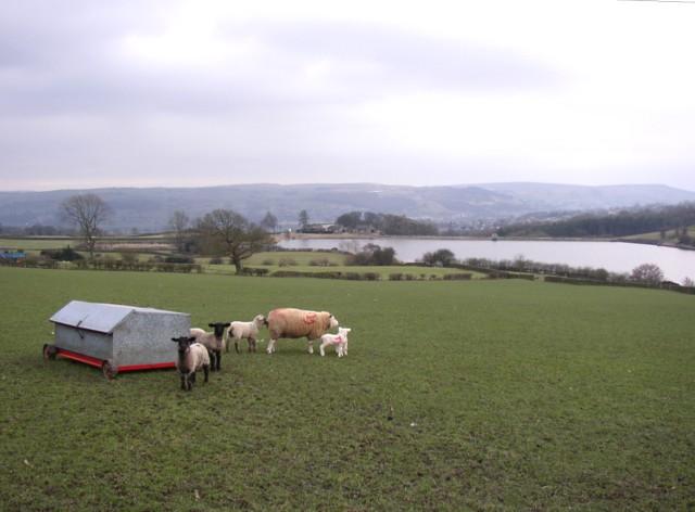 Sheep and lambs, Silsden