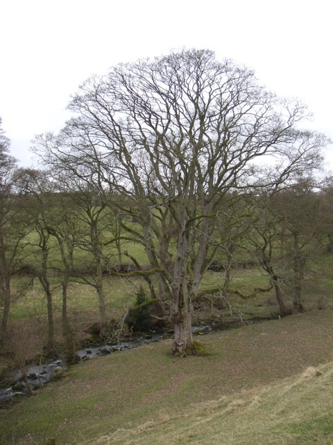 Tree at SE043470, Silsden