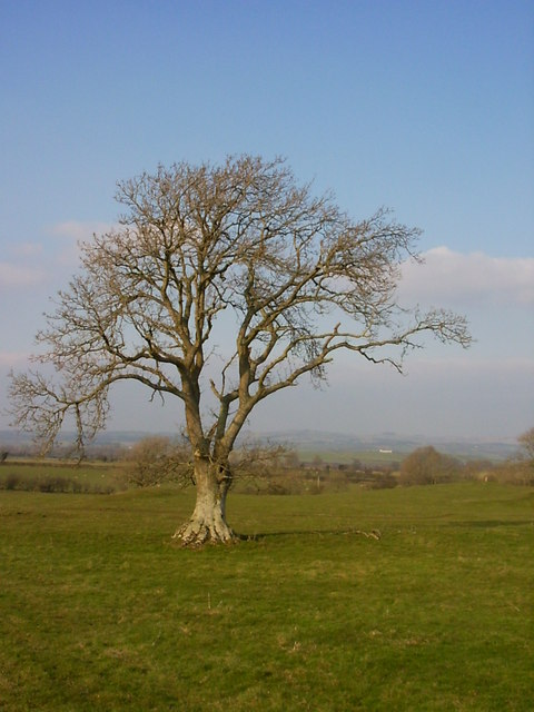 Tree in field near Eaglesfield Crag