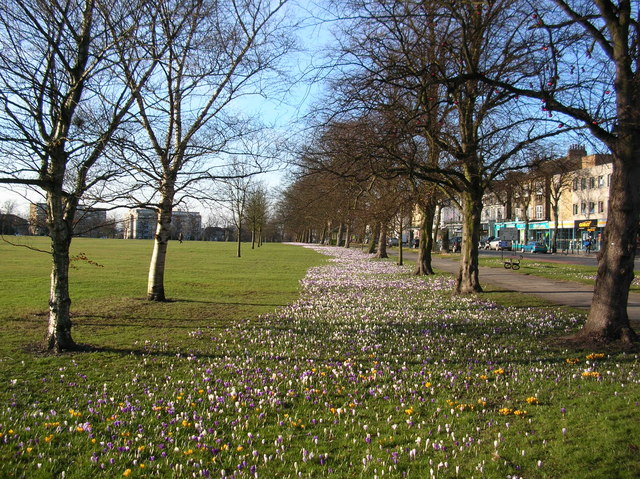 Crocuses, West Park