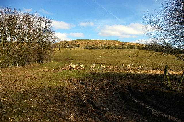 Grazing Sheep nr. Claxby