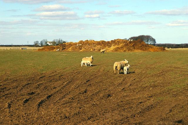 Wold Sheep