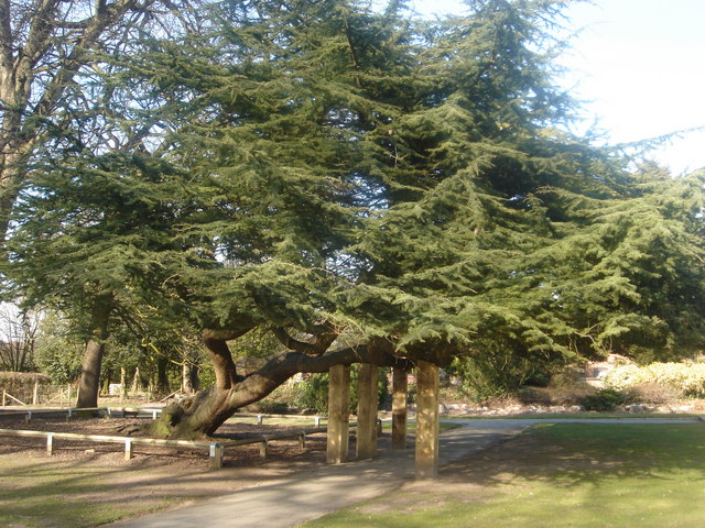 Cedar of Lebanon tree at Worden Hall