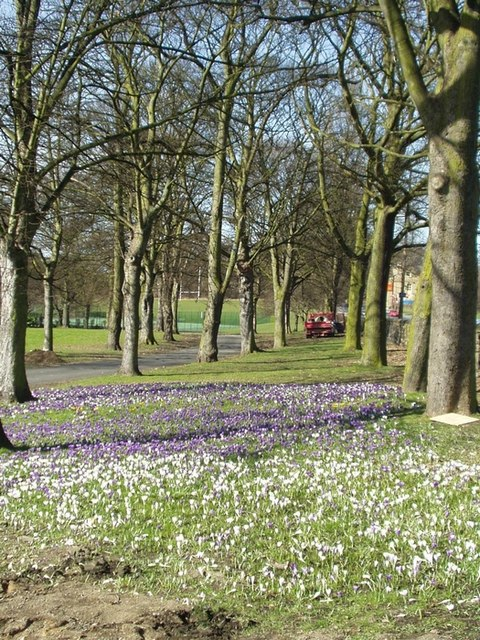 Crocuses at Kirkstall Abbey