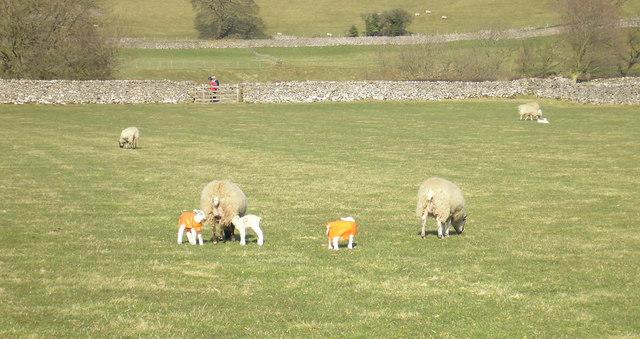 Lambs in plastic macs
