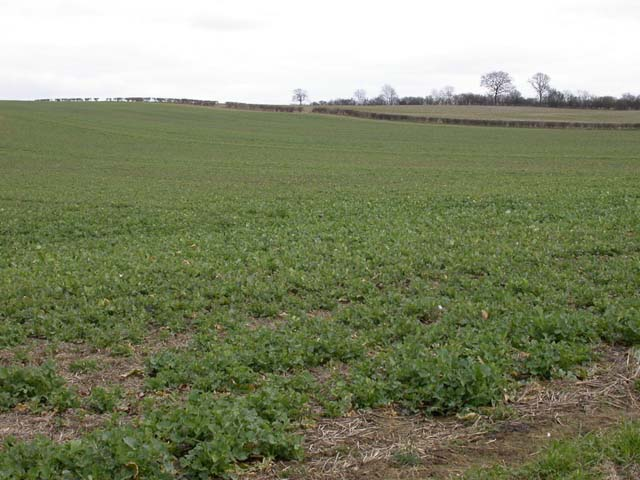 Young Oil Seed Rape Crop