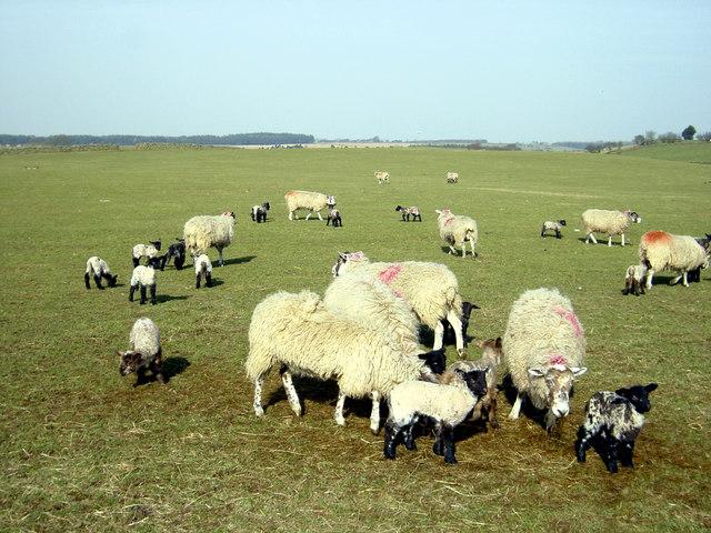 Sheep at Skelding