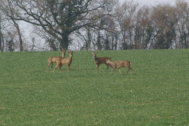 Roe Deer, Braishfield Manor