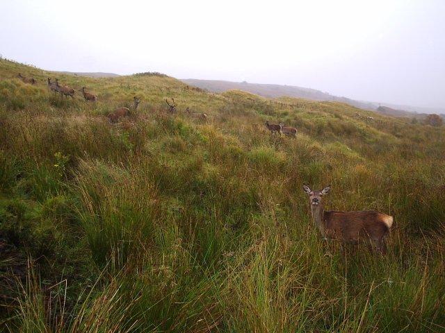 Red Deer at the foot of Beinn Sgreamhaidh In Glen Cassley