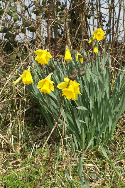 Hedgerow daffodils, Monarch's Way