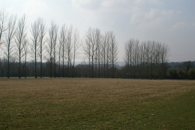 Poplars near Hall Place