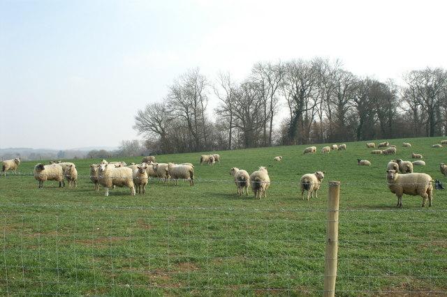Sheep, Michelmersh Manor