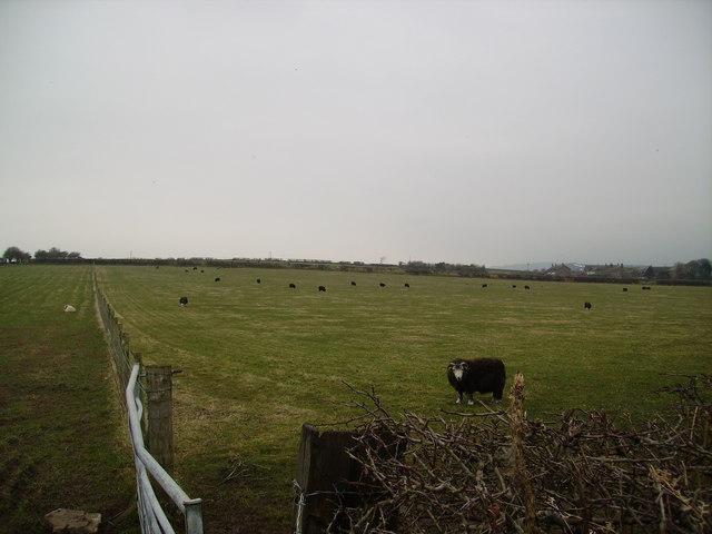 Sheep Dalton Lane