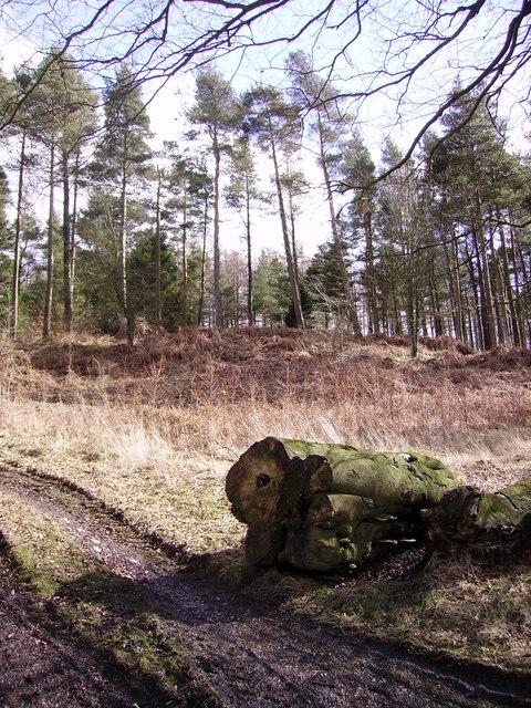 Plantation below Wakebarrow Scar