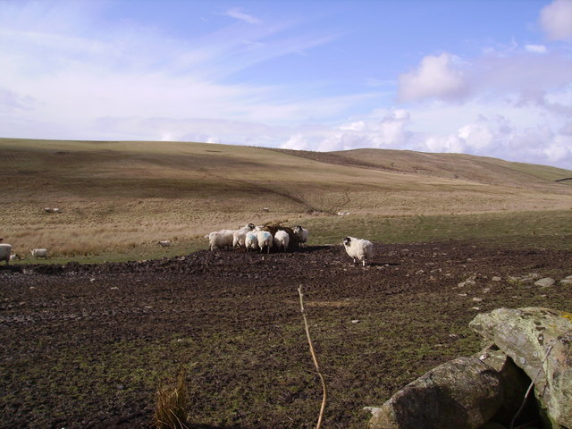 Sheep above Wyndhammere