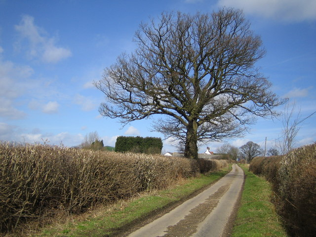Tree on lane to Trowley Bottom