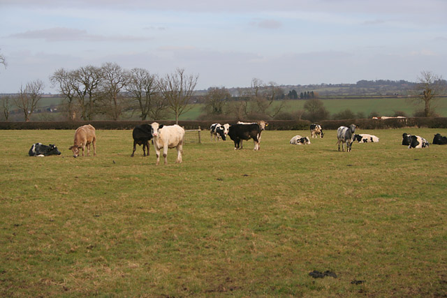 Leicestershire cows