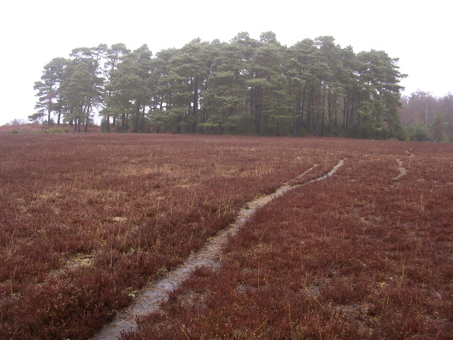 Clump of Scots pine north of Starpole Pond, New Forest