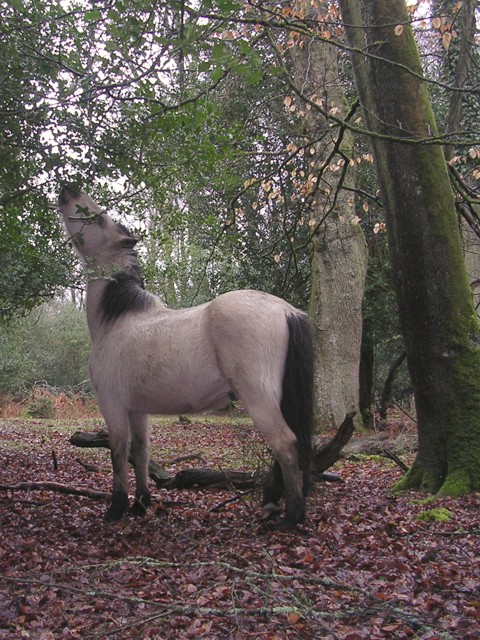 Pony feeding on holly in Tantany Wood, New Forest
