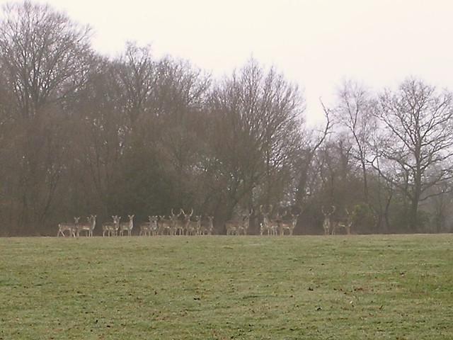 Fallow deer east of Culverley Farm, New Forest
