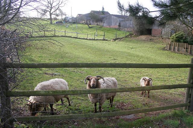 Sheep at Potter Hill Farm