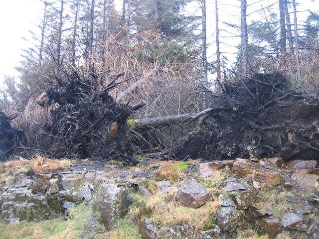 Fallen Trees in Glen Brittle Forest
