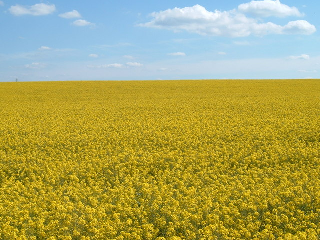 Fields of Gold near Mentmore