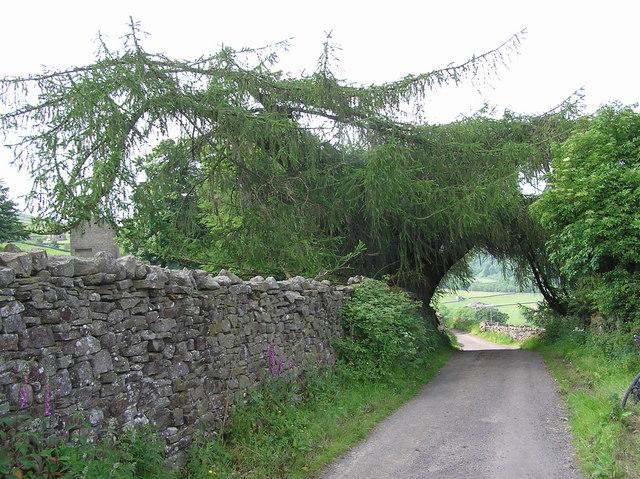 Larch Tree : Nr.Crackpot