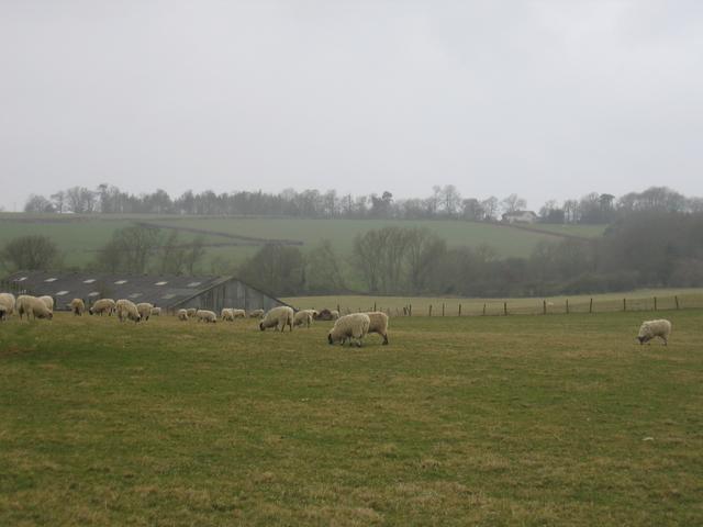 Sheep at Shooter's Hill