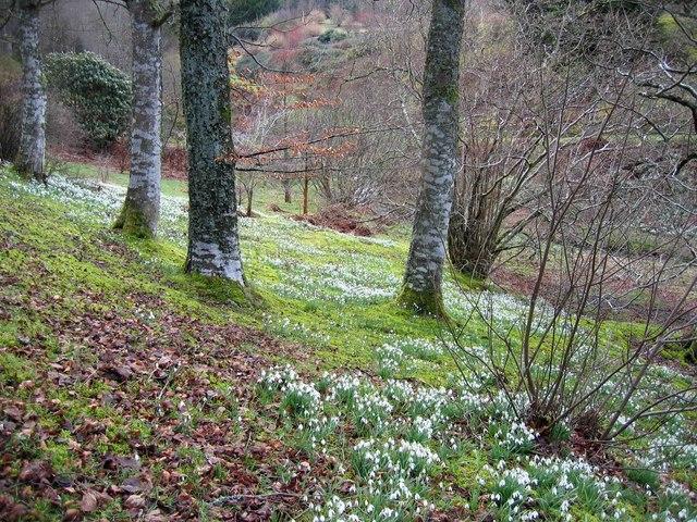 Woodland snowdrops, Dawyck Gardens