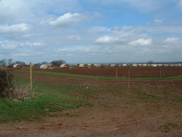 Pig farm near Compton
