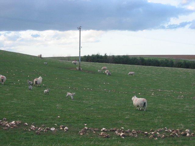Lambs, Carfrae