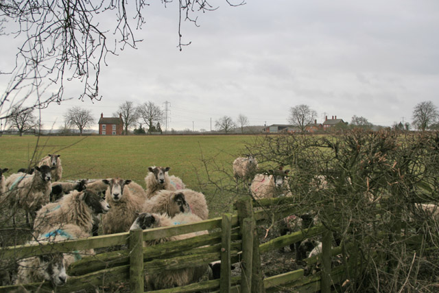 Sheep by Gaddesby Lane (Frisby section)