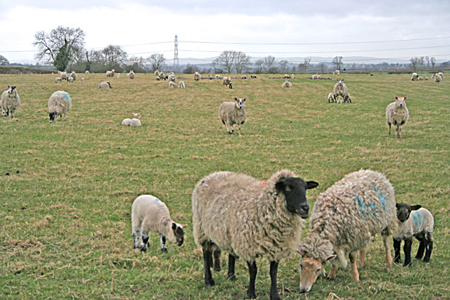 Leicestershire Sheep by Gaddesby Lane (Kirby section)