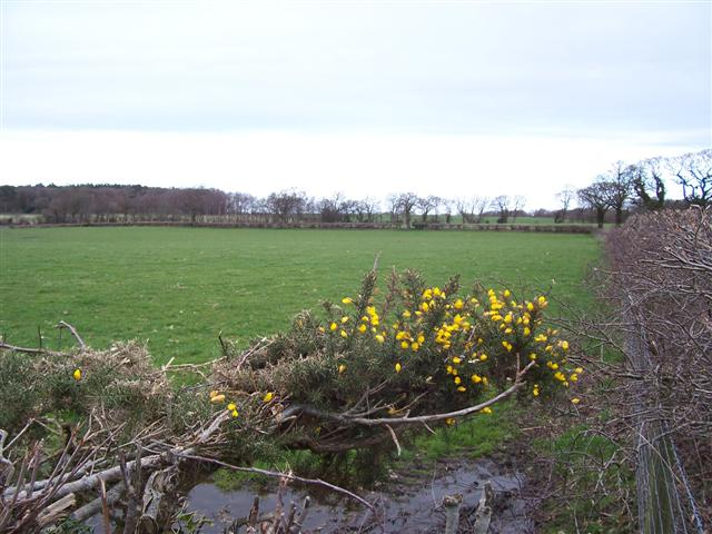 Gorse and field.