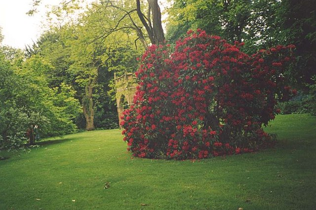 Rhododendrons in Renishaw Hall Gardens