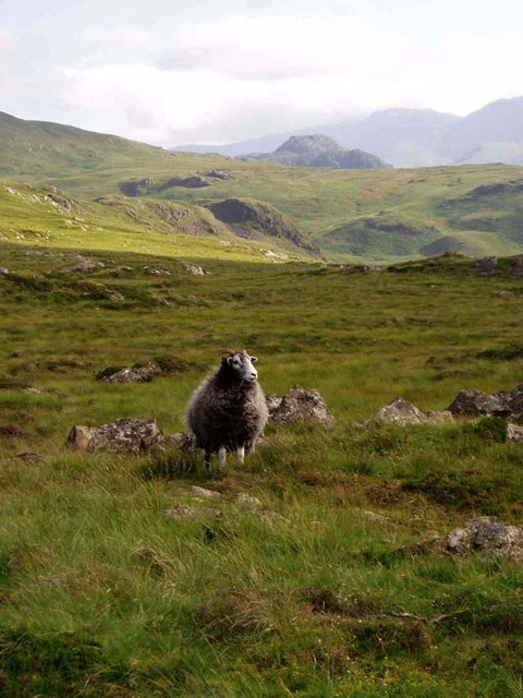 Sheep on Middle Crag
