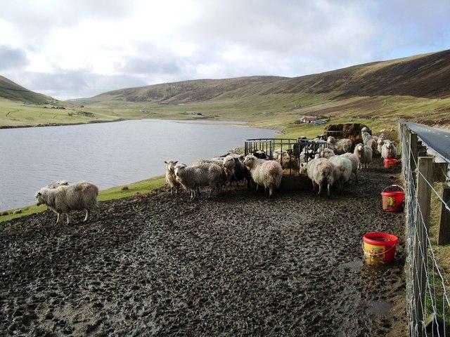 Sheep Feeding, Dales Voe, Shetland