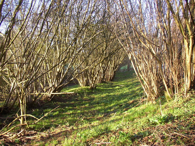 Roadside coppice, Shackleford
