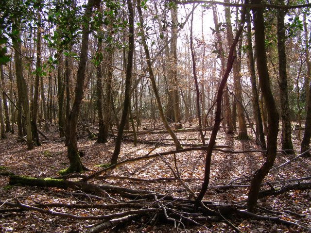 Woodland on Honey Hill, New Forest
