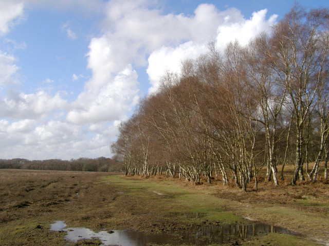 Fringe of silver birch on the eastern edge of Halfpenny Green, New Forest
