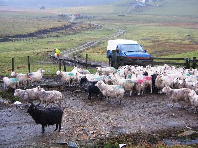 Waiting for Breakfast, Shetland