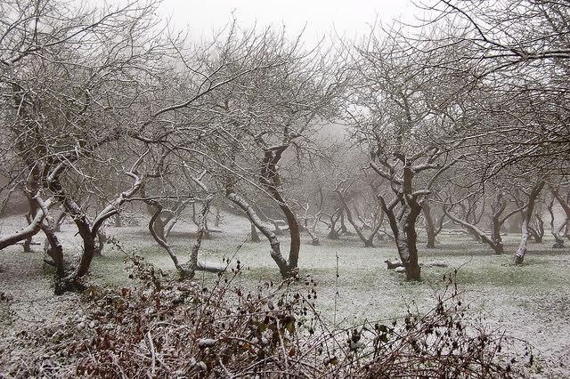 Restored Apple Orchard