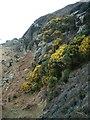 NR7160 : Gorse in flower by Patrick Mackie