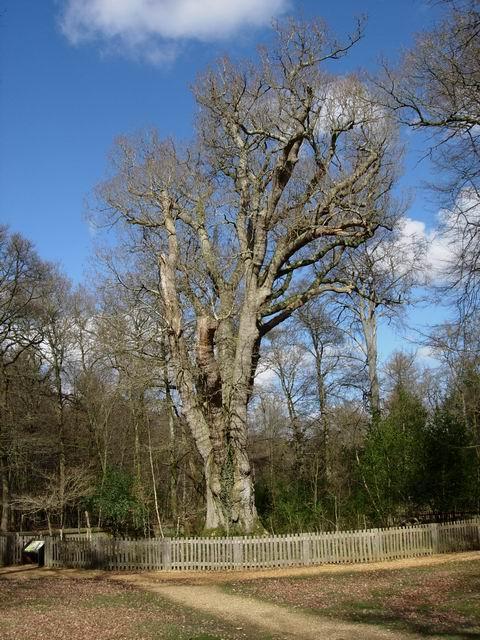 Knightwood Oak in early April